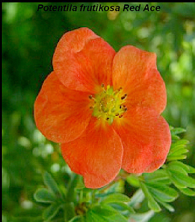 Potentilla fruticosa Red Ace 3